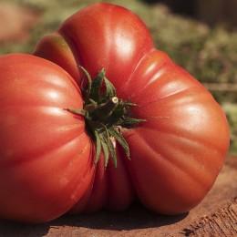 Tomate Benach