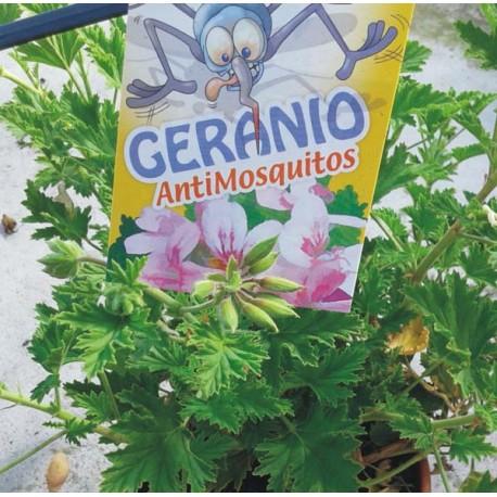 Geranio Antimosquitos