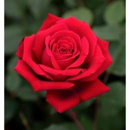 Rosal rojo