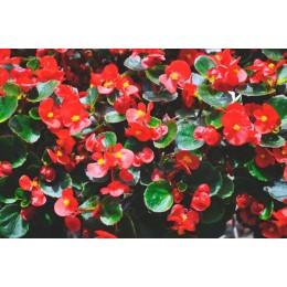 Begonia C11