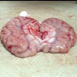 Cerebro cerdo